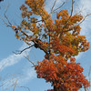Fall Colors In Our Front Yard - Squirrel Nest In Tree