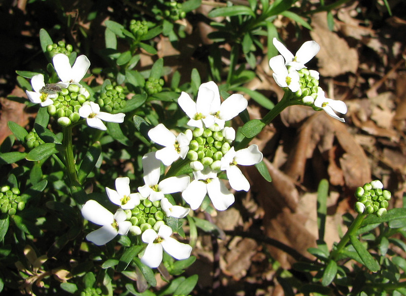 Snowflake Candytuft - April 3_2