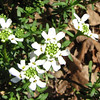 Snowflake Candytuft - April 3_2