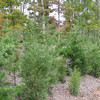 Growth of Front Pine Bank - November 2007