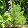 White Pine Is Taking Off This Year - May 21