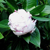 Light Pink Peony Almost Ready to Bloom - May 20 - Week Later Than the Deep Pink Ones