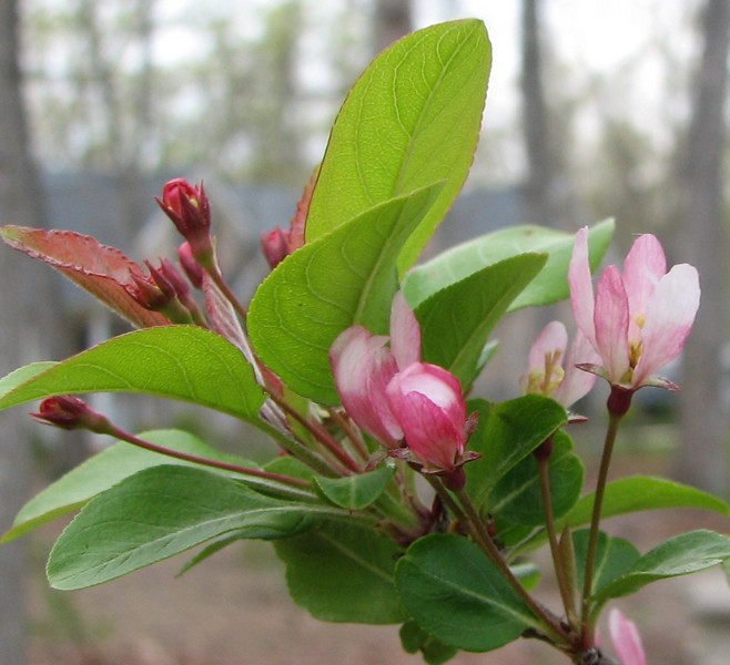 Crabapple Buds and Blooms - April 19