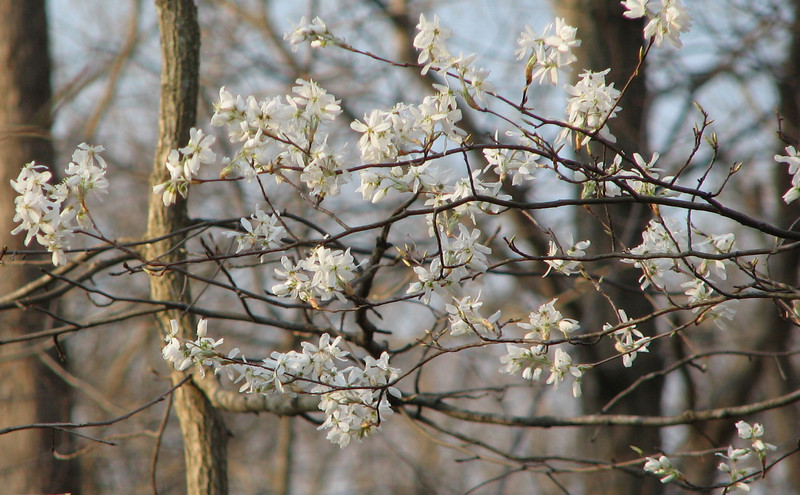 Serviceberry Blooming Behind Pond - March 28_3