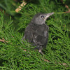 Juvenile Gray Catbird - From Nest At End of Front Porch