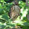 Juvenile Red-shouldered Hawk From Nest Behind Property_3