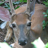 Young Male Deer Nestled In Front Of The House Taking A Rest