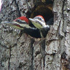 Male on Left, Female on Right - Pileated Woodpecker Nestlings