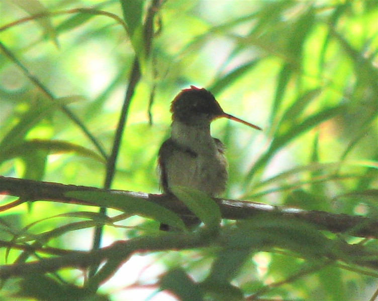 Ruby-throated Hummingbird In Willow By Garage