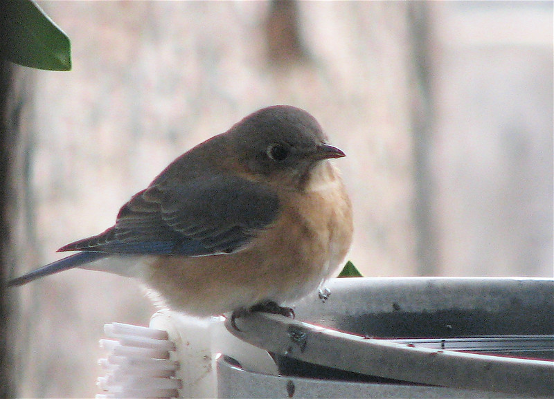Bluebird At Heated Water Bath