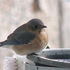 Bluebird At Heated Water Bath
