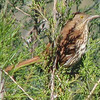 Brown Thrasher Singing A Spring Love Song