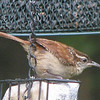 Carolina Wren On Suet Feeder_2