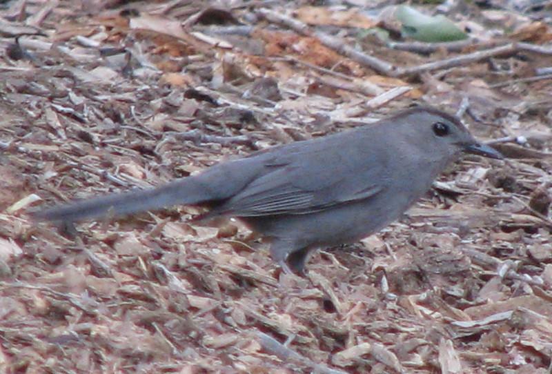 Gray Catbird On Ground