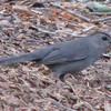 Gray Catbird On Ground
