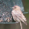 Young House Finch