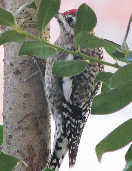 First Sighting at BBC-Yellow-bellied Sapsucker