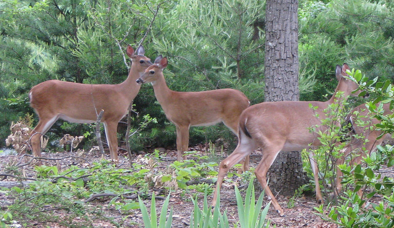 Deer Traveling Through Front Yard - May 23 - Looking Healthy This Year