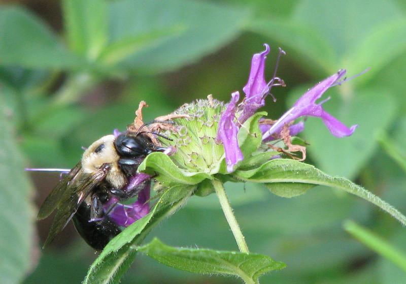 Bee On Bee Balm_2