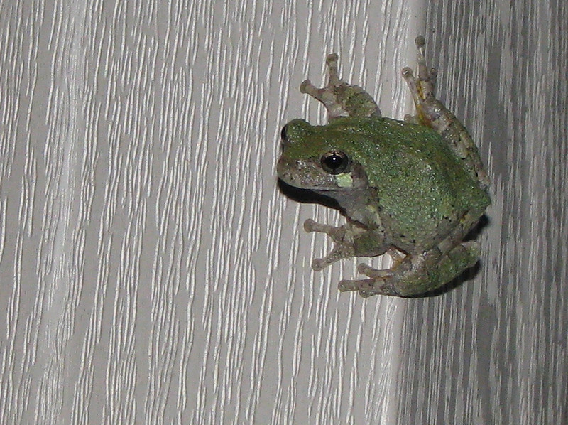 Eastern Gray Treefrog With Green Coat To Match The Leaves