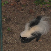 Striped Skunk Beneath Rear Feeder