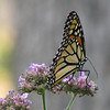 Monarch On Upright Verbena