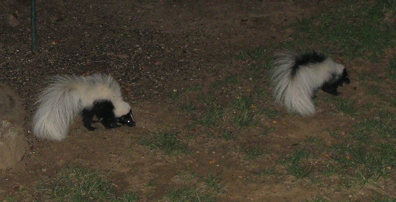 Two Skunks In Backyard_2