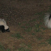 Two Skunks In Backyard_2