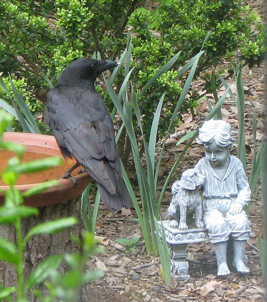 Crow On Birdbath - Let's Pretend We Don't See The Crow And He'll Leave You Alone, Fido