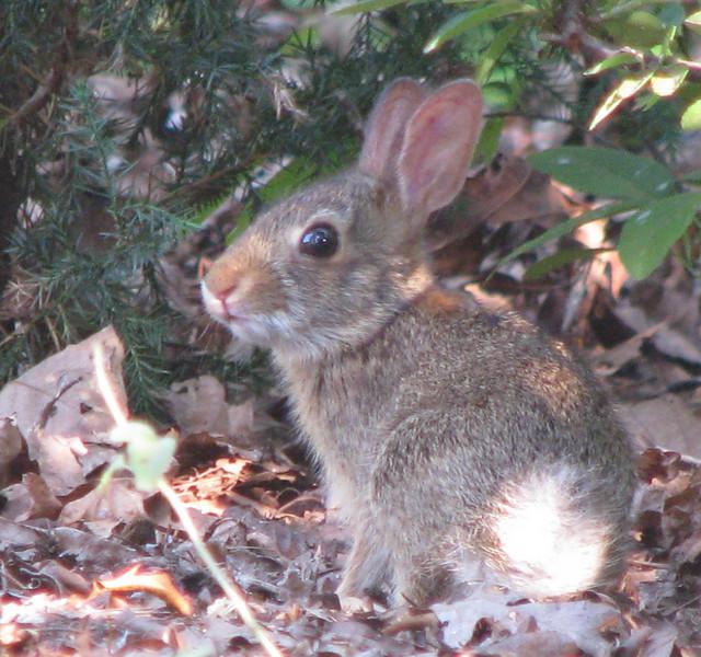 Baby Rabbit in Front Yard