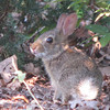 Baby Rabbit in Front Yard