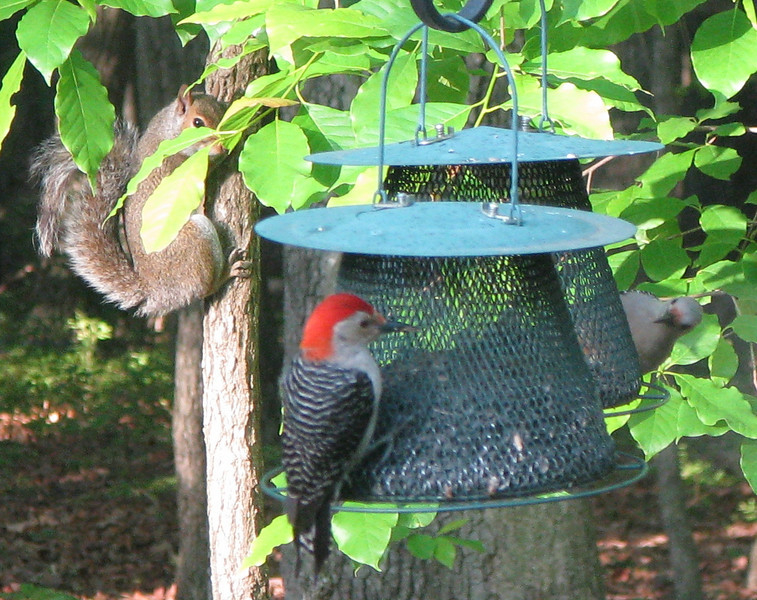 Squirrel Watching Male and Female Red-bellied Woodpeckers At Feeder