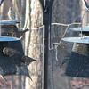 13 Various Finches On Feeders