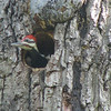 Pileated Woodpecker Nestling At Dotty Hopkins