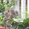 Squirrel Eating Leaf of Black-eyed Susan_3