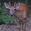 Male Deer Has Few White Spots Left From Fawn