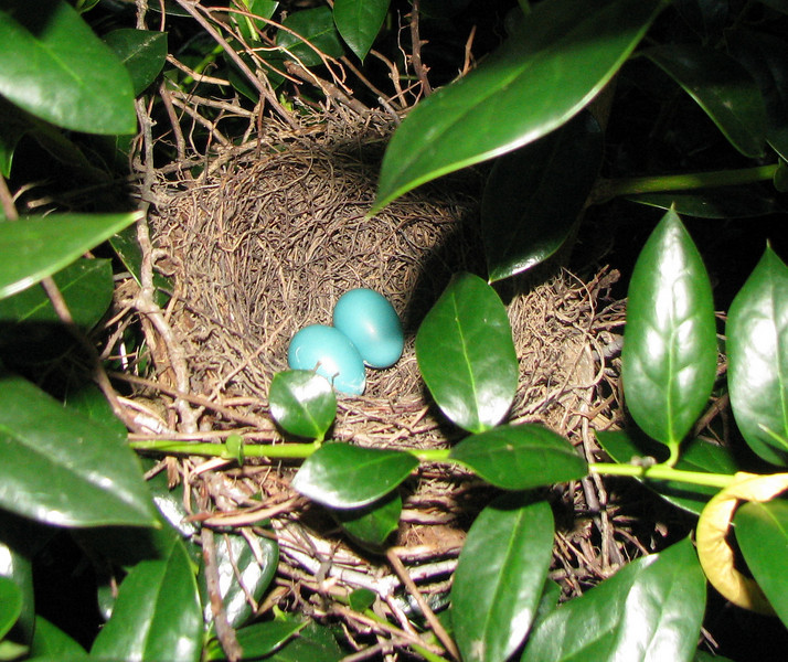 Two Blue Eggs In Gray Catbird Nest
