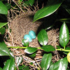 Two Blue Eggs In Gray Catbird Nest