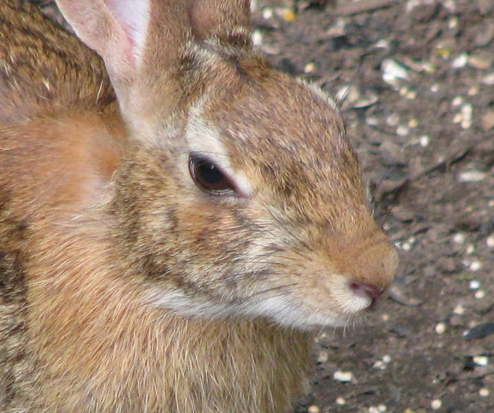 Rabbit At Rear Feeder_2