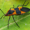 Adult Milkweed Bug
