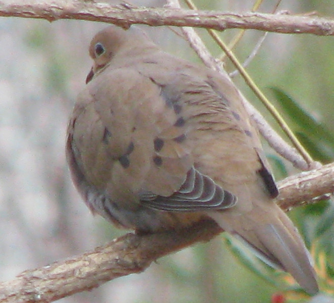 Chilly Mourning Dove