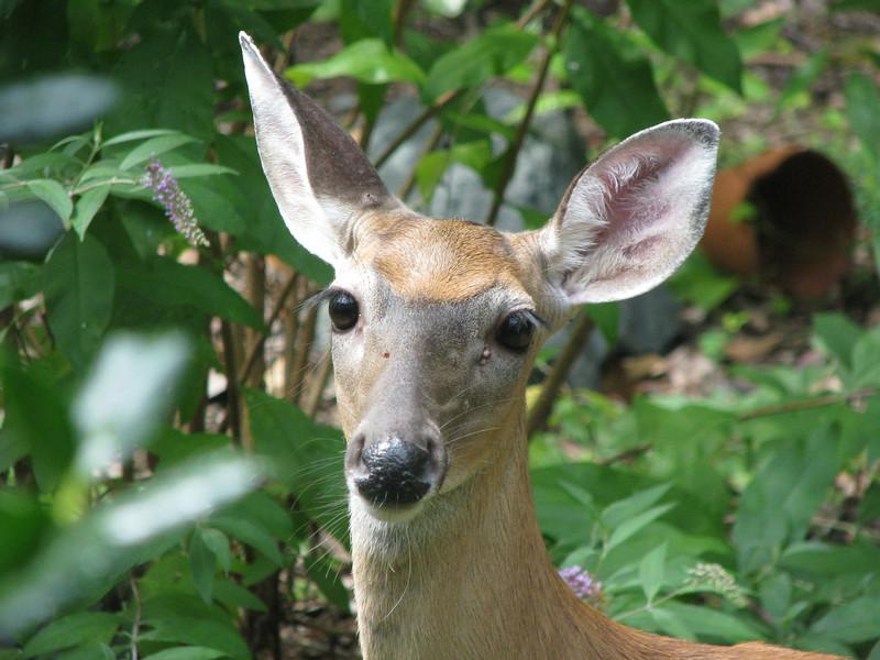 Female Deer In Backyard_3