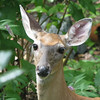 Female Deer In Backyard_3