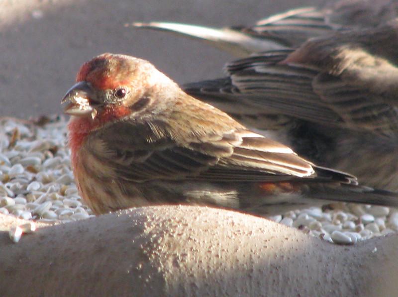 Male House Finch_3