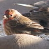 Male House Finch_3