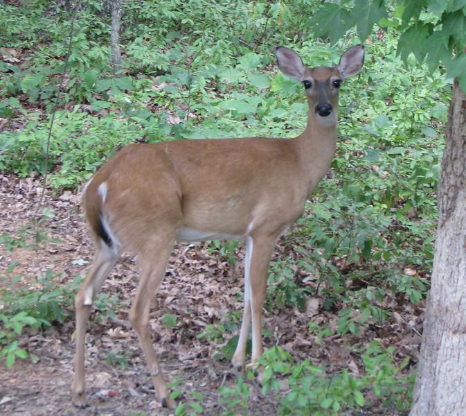 Backyard Deer_3