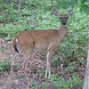 Backyard Deer_3