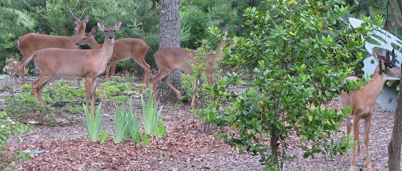 Deer Traveling Through Front Yard - May 23 - Looking Healthier This Year