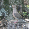 Mourning Dove On Backyard Stump