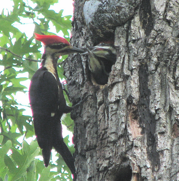 Pileated Woodpeckers - Dad Feeds The Young Ones